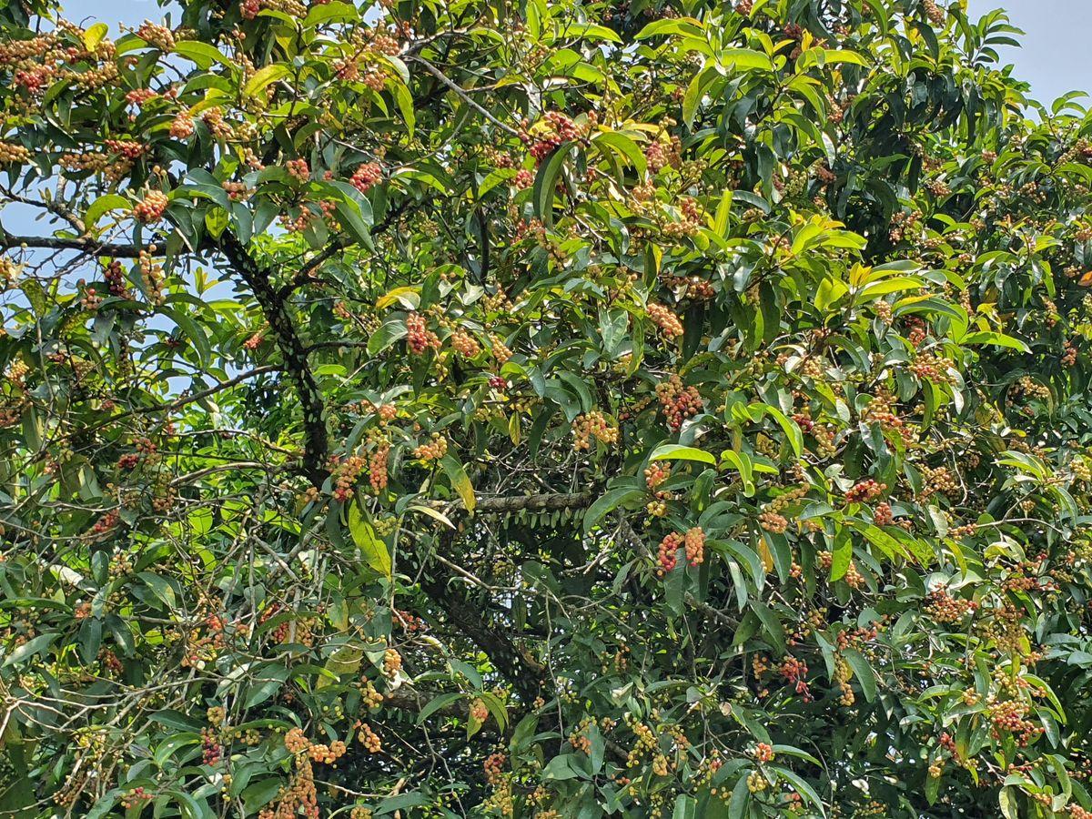 Buni-Frucht
